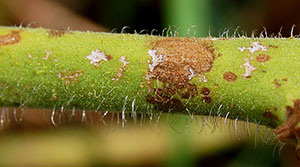 The fungus invades plant tissue and kills the cells.