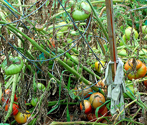 This tomato plant is very sick with late blight, a fungus disease.