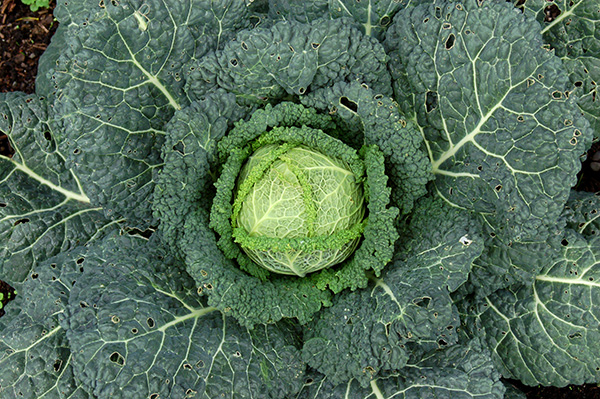 """The outer leaves of cabbage are perfect """"green"""" material for composting."""
