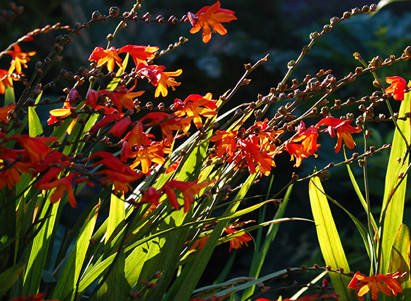 In cold winter areas Crocosmia corms need to be lifted and stored over winter.