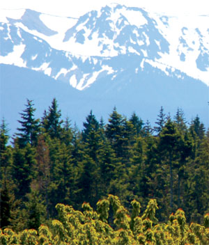 Native noble firs dominate a ridge top.
