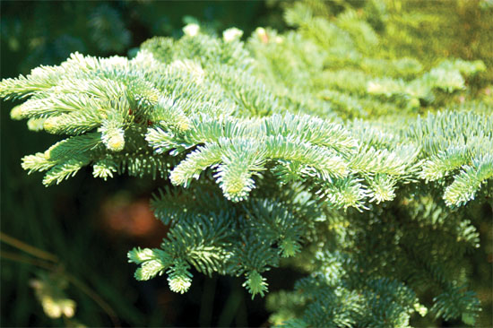 Noble fir boughs are strong and beautiful.