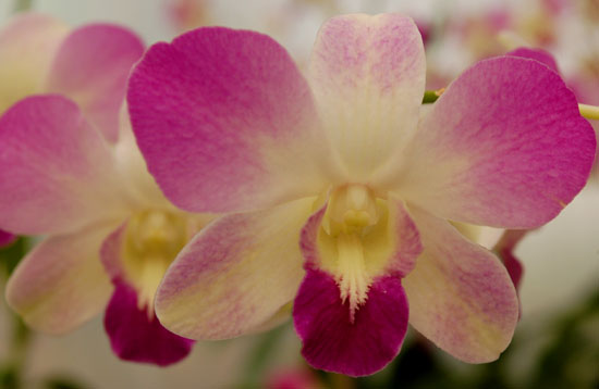 Dendrobiums, like this Jaqueline Thomas, provide long-lasting cut flowers for bouquets.