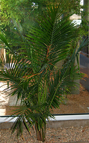 Large houseplants like palms can make excellent holiday trees.