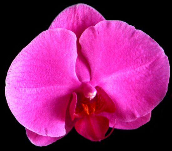 Phalaenopsis Ida Fukumura flowers are large and intensely colored.