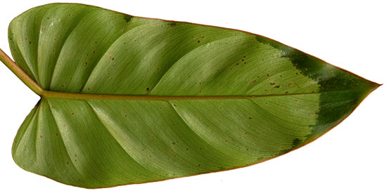 This philodendron shows the watersoaking typical of bacterial infections on the leaves.