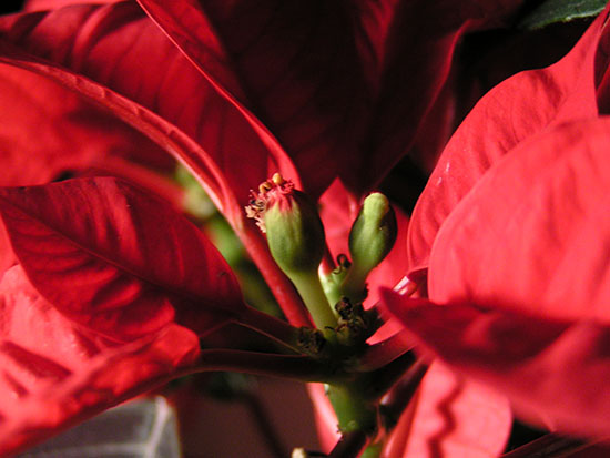 Green flower buds and bright red bracts on my mother's poinsettia.