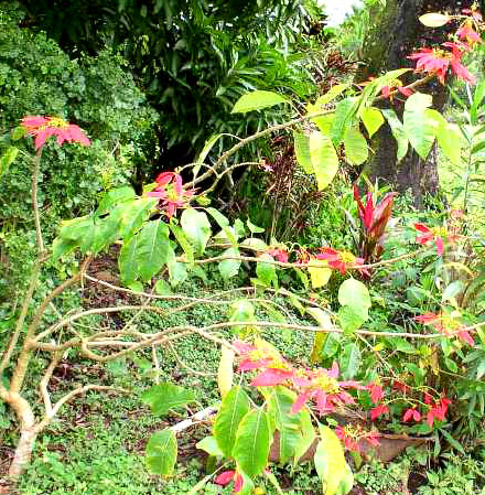 A wild poinsettia in Belize.