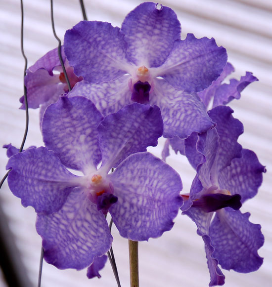 The flowers of Vanda coerulea are spectacular in size and color.