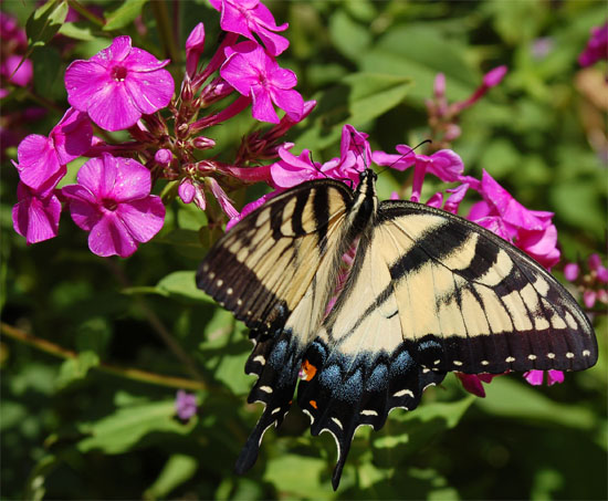The adult butterfly exhibits the features of both butterflies and moths. Most moths are active at night and most butterflies are active in the daytime.