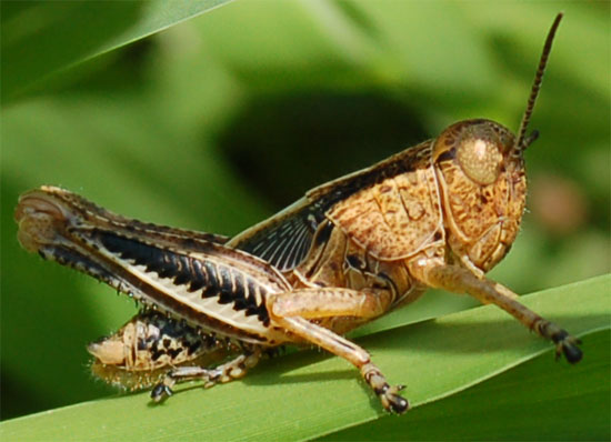Baby grasshoppers, or nymphs, resemble adults but their wings are undeveloped.