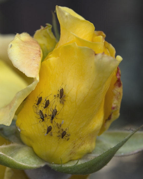 Winged aphid adults appear late in the season to mate and lay eggs for the next generation the following year.