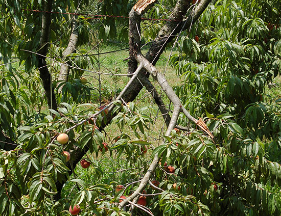 A large branch of this peach tree has broken off because the fruit crop was too heavy and should have been thinned.