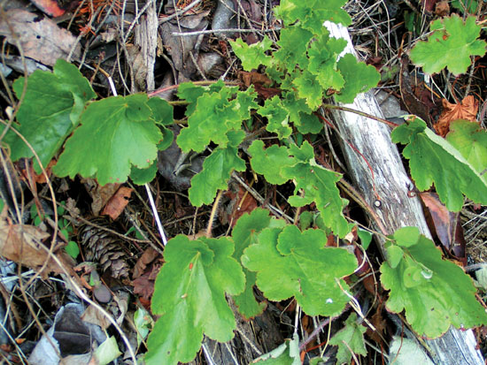 The small-flowered alumroot, Heuchera micrantha, is native to the Olympic Peninsula. It is an evergreen, low maintenance perennial that is a valuable parent of numerous superstar hybrids.