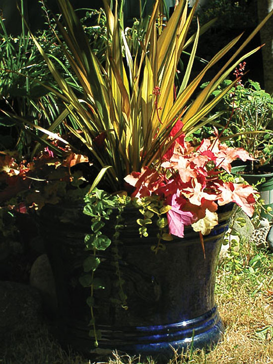 This large cobalt blue planter contains Heuchera 'Peach Melba', Phormium 'Yellow Wave' and golden creeping Jenny. All of these plants retain their colorful foliage through the winter and all do well in partial shade. Many heucheras are widely used in container gardening.