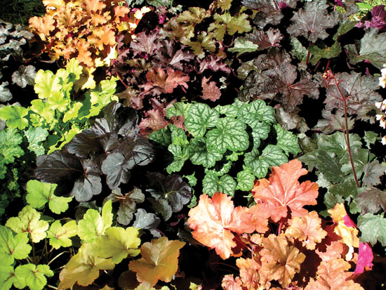 Modern Heuchera hybrids are available in a wide range of colorful foliage which they retain all year long.