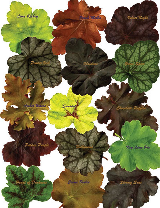The wide range of colors and patterns in the foliage of heucheras has resulted in numerous new hybrids which are valuable additions to the perennial garden. Many are descended from the Northwest native, H. micrantha. This illustration includes 'Sunspot' and 'Heart of Darkness', both of which are intergeneric hybrids between Heuchera and Tiarella, and are called x Heucherella.