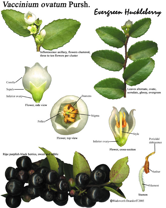 Evergreen huckleberry, Vaccinium ovatum, is a native shrub and a beautiful ornamental shrub.