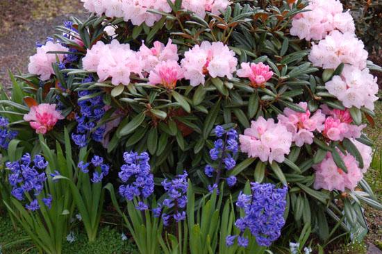 pink rhody & bluebells