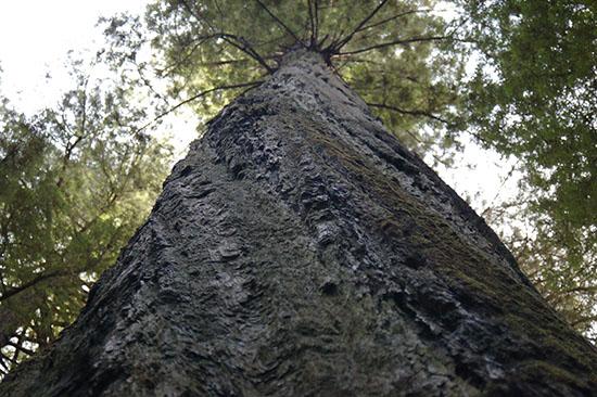 Gigantic, awe-inspiring trees, redwoods capture the imagination