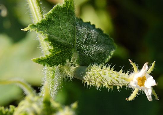 cucumber female flower