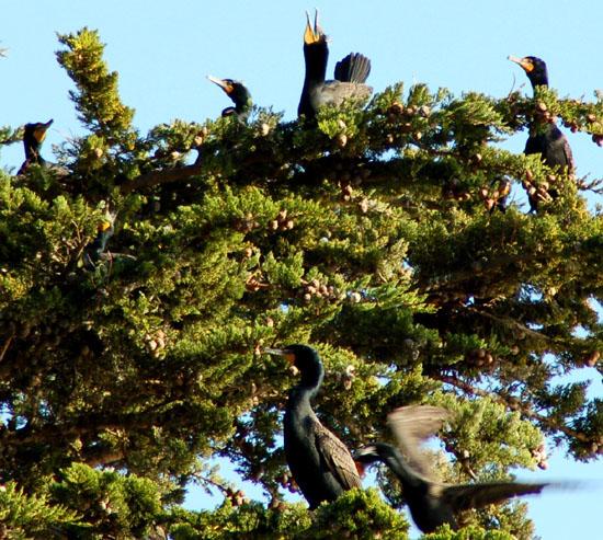 cormorant rookery