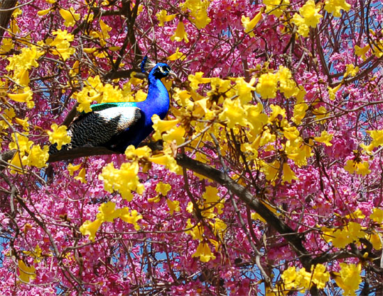 tabebuia and peacock