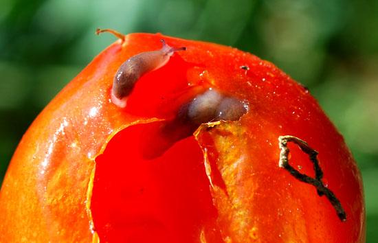 tomato slug