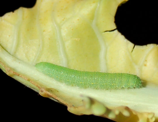 cabbage worm