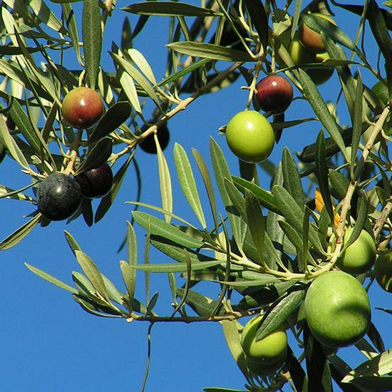 olives 73 550