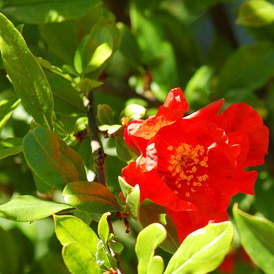 pomegranate flower 58 550