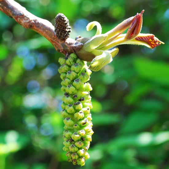 Walnut male flowers