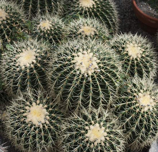barrel cactus 46 550
