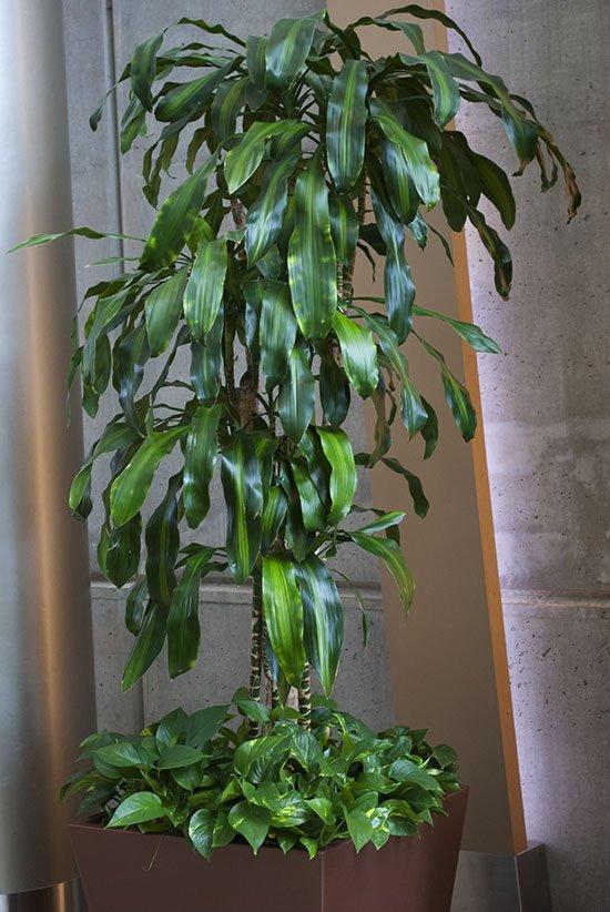 corn-pp-02 dracaena fragrans 74