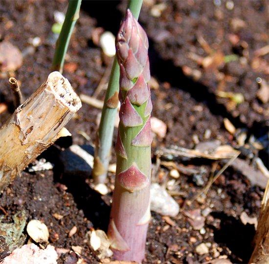 asparagus spears 11