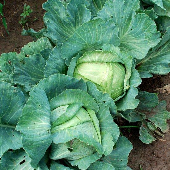 cabbage 42