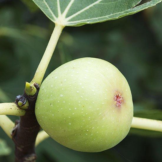 fig ripe 18 550