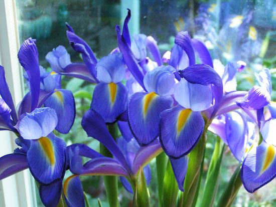 spring-pp-02 julies iris 11 550