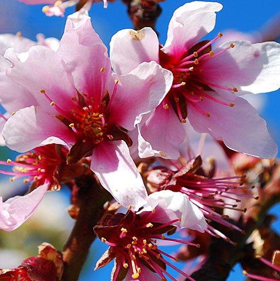 peach flower 87 550
